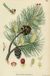 Pinus Sylvestris Illustration